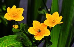 Kingcups. (Fr Paul Hackett) Tags: flower leaves water spring