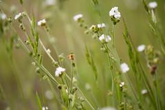 Popcorn Flower (Dawn Endico) Tags: california montereycounty pinnaclesnationalpark plagiobothrysnothofulvus popcornflower rustypopcornflower flower plant wildflower
