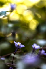 (Xavier Ligonnet (Daftlive)) Tags: macro macromondays springtime spring bokeh bokehmonster flare flower sunset sun gold golden
