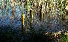 Rotoroa fence posts? (JayVeeAre (JvR)) Tags: ©2017johannesvanrooy hamilton newzealand ©2017 hamiltron nature waikato johannesvanrooy johnvanrooy gimp28 lake lakerotoroa picasa3 httpwwwflickrcomphotosjayveeare johnvanrooygmailcom gimpuser gimpforphotography canonpowershotg10 rotoroa