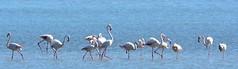 flamingos (marlettagioacchino) Tags: bird flamingo nature wildlife outdoor vendicari sicily nikon sigma