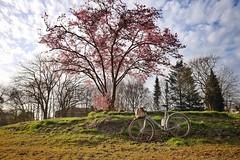 En fleurs (cycledefrance) Tags: