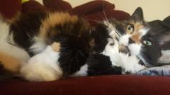 Waking up hella disoriented. - The Caturday (TheCaturday) Tags: caturday kittens kitty cat cats kitten cute catsagram catsoftwitter catsofinstagram
