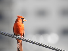 Watchful Eye (StraightEdgeSmurf) Tags: bird cardinal