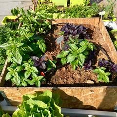 Basil Planter (Assaf Shtilman) Tags: basil green sweet purple thai cinnamon seedlings