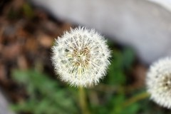 Wishes To Be Made (Ashley Humiston) Tags: flower weeds wishes nature outdoors dandelion