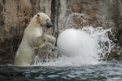 Zoo life, Polarbear (Ronald Dubbeldam) Tags: zoo polarbear dierentuin ijsbeer