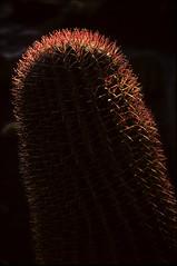 needle sharp (Ron Layters) Tags: cactus eveninglight cactusgarden jardindecactus red spines backliy guatiza lanzarote canaryislands islascanarias kodachrome slidefilmthenscanned slide transparency ronlayters pentaxmz10