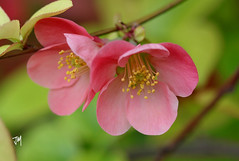 Chaenomeles (Jasmina Maric) Tags: chaenomeles chaenomelesjaponica dunjarica shrub spring pink blossoms nature petals april flower floral jasminamarić serbia