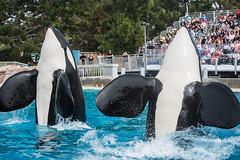 Ulises, Keet (Jennifer Stuber) Tags: seaworld seaworldsandiego orca killerwhale orque shamu shamustadium cetacean orcinusorca orcinus black white nikond750 nikon swc swsd