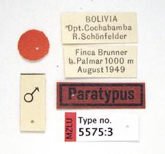 Gyrinus schoenfelderi Ochs, 1954 (Biological Museum, Lund University: Entomology) Tags: coleoptera gyrinidae gyrinus schoenfelderi mzlutype05575