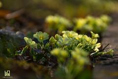 ESPLOSIONE (Lace1952) Tags: primavera fiori selvaticifiori sottobosco bosco colori controluce primule giallo nikond7100 nikkor18300vr