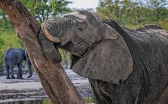 Tree loving (rachelsloman) Tags: elephant kwai botswana tree wild animal