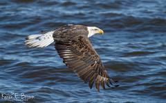 Bald Eagle (BirdFancier01) Tags: river nature raptor birdofprey eagle iowa leclaire lockanddam14 wildlife