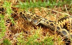 Adder (Vipera berus) (Nick Dobbs) Tags: adder vipera berus snake viper reptile dorset heath heathland venomous venom