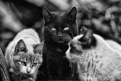 El gato negro de Puértolas (carnuzo) Tags: leica m9