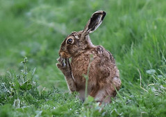 European Hare Lepus europaeus 008-1 (cwoodend..........Thanks) Tags: 2017 wildlife warwickshire hare lepuseuropaeus europeanhare nature leporid lepus