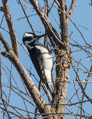 Woodpecker, Hairy (Picoides villosus) (kikapookid) Tags: 2017 animalia atascadero bird california deanzatrail hairy location sanluisobispoco usa woodpecker
