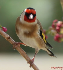 Goldfinch and Cherry Blossom. Image 3. (ronalddavey80) Tags: goldfinch bird cherry blossom canon eos70d tamron 70300mm