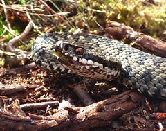 Cannock Chase - Adder.10 (Peanut1371) Tags: adder snake reptile nationalgeographicwildlife cannockchase