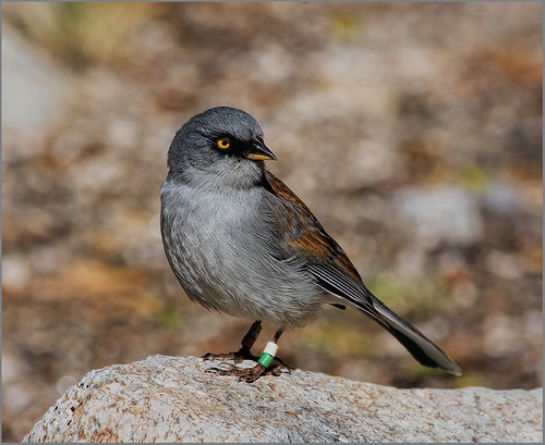 48-Yellow-eyed Junco