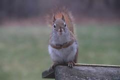 287/365/3209 (March 25, 2017) - Red Squirrel at the Birdfeeders (Saline, Michigan) - March 25, 2017 (cseeman) Tags: redsquirrel feeder birdfeeder perch squirrel saline michigan redsquirrel03252017 spring hungry squirrelfeeder empty emptyfeeder 2017project365coreys yearnineproject365coreys project365 p365cs032017 356project2017 exploredcseeman