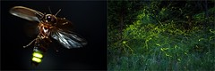 "European firefly - Phausis = Lamprohiza splendidula male in flight and ""Pollock's traces"" (Hubert Polacek) Tags: insect coleoptera lampyridae firefly beetle phausis splendidula flight flying light traces night timelapse twilight forest macro male europe slovakia insectactivity lamprohiza facetedeyes stack"