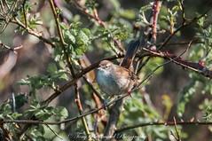 Cetti's Warbler (cettia cetti) (phat5toe) Tags: cettiswarbler cettiacetti birds wildlife feathers avian nature wigan flashes greenheart nikon d300 tamron150600mm