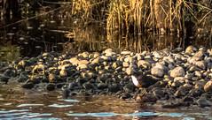 Dipper (Barry Folan) Tags: dipper river wildlife scotland speyside spey whiskyriver pentaxart pentaxk1 birding birds