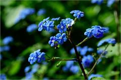 forget-me-not flowers (atsjebosma) Tags: forgetmenot vergeetmijniet spring lente blue green blauw macro bokeh atsjebosma garnwerd groningen thenetherlands nederland april flowers bloemen 2017 ngc
