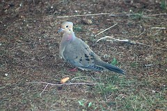 Mourning Dove In Backyard 002 (Chrisser) Tags: birds bird doves dove mourningdoves mourningdove zenaidamacroura nature ontario canada canoneosrebelt6i canonef75300mmf456iiiusmlens columbidae