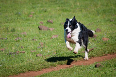 Day 90 ~ on a mission (champbass2) Tags: day90 day90365 3652017 2017 bordercollie running dog intheair familypets workingdog