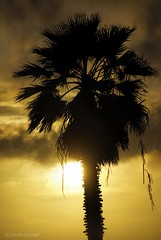 Dangling.... (Joe Hengel) Tags: danapoint darkness evening eveninglight eveningskies palmtrees palmtree palm palmfronds socal southerncalifornia sunset seaside goldenstate golden goldenhour glow orangecounty oc outdoor tree trees theoc california ca clouds cloudsorangecounty cloudy silhouette silhouettes dangling