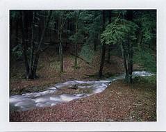 (babireley) Tags: polaroid250 fujifilmfp100c pawilds pottercounty pa pottercountypa ansleyrun spring pinetree susquehannockstateforest