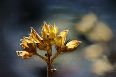 In Motion (Rosemary Danielis) Tags: seeds flowers spring fall golden blur motion soft nature outdoor bokeh macrophotography