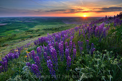 Purple Paradise (pdxsafariguy) Tags: purple rural palouse spring wildflowers washington usa meadow flowers landscape lupine steptoebutte sunset agriculture rolling farming farmland clouds tomschwabel