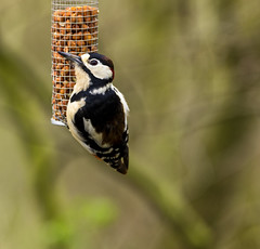 Spotted Woodpecker (RichySum77) Tags: bird woodpecker nature durham wildlife low barnes