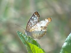 DSC00407 (familiapratta) Tags: sony dschx100v hx100v iso100 natureza inseto insetos nature insect insects