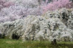 Floraison (Valentin le luron) Tags: 20170413 nikon 800 e aubonne la côte vaud romandie suisse nature arboretum arbre fleur paysage printemps cerisier yves paudex lausanne