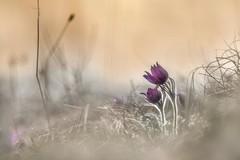 Pulsatilla (SonjaS.) Tags: kuhschelle küchenschelle sonjasayer blumen flowers bokeh blüte sonnenuntergang sunset 50mm pentacon meyergörlitz pulsatillavulgaris