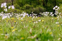 Spring (tribalandre) Tags: spring springtime flower green grass closeup