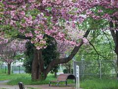 Cherry blossoms (odeleapple) Tags: olympus e5 zuiko digital 70300mm zd cherry blossom park bench
