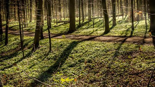Bois de Halle en Belgique