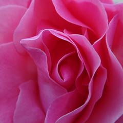 DSC07095 (omirou56) Tags: macro 11 sonydscwx500 pinkrose nature natur natura garden greece ελλαδα φυση ροζτριανταφυλλο
