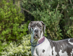 A Hard Stare (Darren Cordingley) Tags: greatdane dogs hund chien mansbestfriend pet companion loyal trust harlequin nikon d800 nikon70200mm
