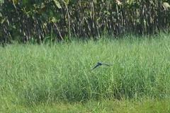 Martin pecheur d'amerique du sud (ptitmaxguyane) Tags: jaguar zoo bagne iles du salut capucin singe oiseau marais de kaw prison héron cocoï martin pecheur amerique sud buse hurubus hoazin huppé cabiaie