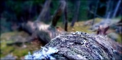 Log. (Papa Razzi1) Tags: 8997 2017 099365 log picture forest april old fallen grey