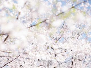 Sakura#1