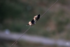 IMG_2794 (uday khatri photography) Tags: nature india bird wildlife birds udaykhatri udaykhatriphotography amazing abstract animal art ahmedabad canon care baaz eagle kite crow love parrot pigeon portrait bulbul two
