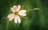 Stellaria holostea (aj_nicolson) Tags: closeup greaterstitchwort starofbethlehem stellariaholostea flower greass green nature outdoors white whiteflower wildflower woodland appicoftheweek